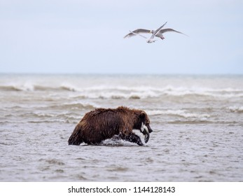 Coastal brown bear, or  Grizzly Bear (Ursus Arctos) with a silver salmon or coho salmon (Oncorhynchus kisutch) it has caught. Cook Inlet.  South Central Alaska. United States of America (USA). - Shutterstock ID 1144128143