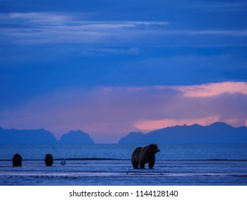 Coastal brown bear, also known as Grizzly Bear (Ursus Arctos) female and cubs. Cook Inlet. South Central Alaska. United States of America (USA). - Shutterstock ID 1144128140
