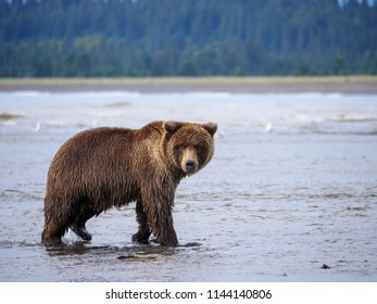 Coastal brown bear, also known as Grizzly Bear (Ursus Arctos). South Central Alaska. United States of America (USA). - Shutterstock ID 1144140806