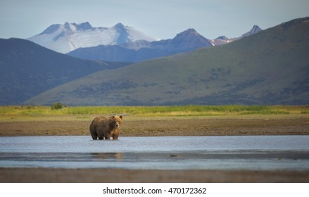 A coastal brown bear stands in a creek in Katmai National Park and Preserve, Alaska.