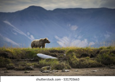 A coastal brown bear watches the creek for passing salmon in Katmai National Park and Preserve, Alaska.