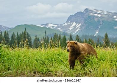 Coastal Brown Bears