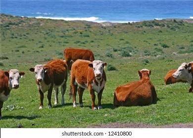 Coastal Cattle