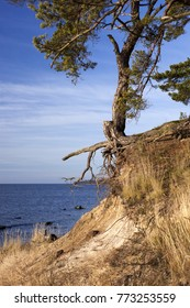 Coastal erosion by waves have taken away sand from under pine-tree roots. Photographed at Baltic Sea, North coast of Estonia.