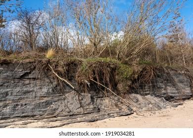 Coastal erosion at the eroded beach coast at Burry Port causing environmental damage to the pine trees on the cliff  face coastline Carmarthenshire Wales UK stock photo image