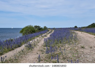 Coastal gravel road with blossom blueweed flowers and a sailing boat in the sea at the island Oland in Sweden