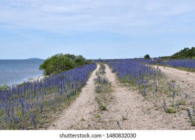 Coastal gravel road with blossom blueweed flowers at the swedish island Oland