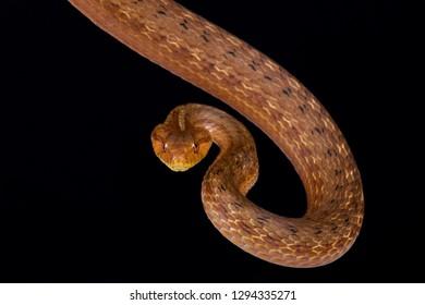 Coastal House Snake (Thamnodynastes strigatus)