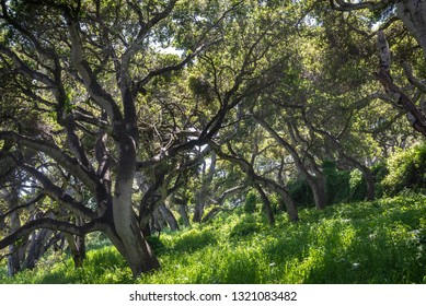 Coastal Live Oak trees (Quercus agrifolia)  in the hills of Monterey, California, as light shines through the branches leaving a contrasting pattern on the grass below.