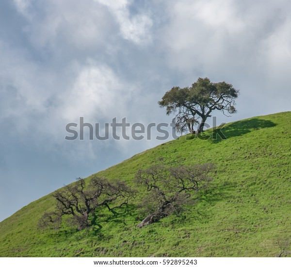 Coastal live oak trees (Quercus agrifolia) on a steep grassy hillside with clouds overhead, in central California, USA