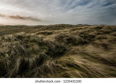 Coastal marram grass being flattened by a high stormy wind.