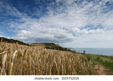 Coastal path in rural countryside, with field of wheat in the frontground and dramatic sky, Debon, England, UK.