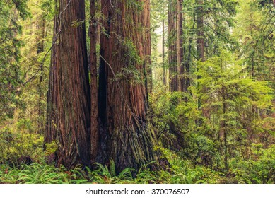 Coastal Redwood Forest. Thousands Years Old Trees in the Redwood National Park.