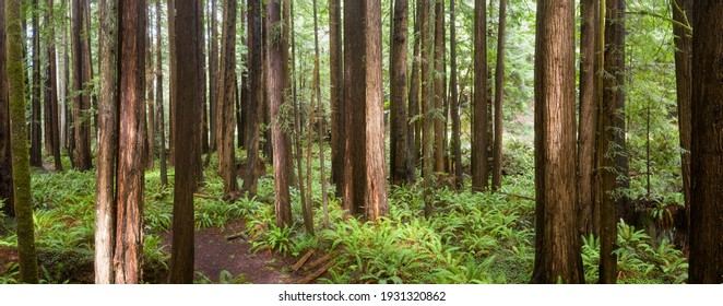 Coastal Redwood trees, Sequoia sempervirens, thrive in a healthy forest in Mendocino, California. Redwood trees grow in a very specific climate range.