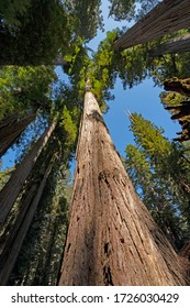 Coastal Redwoods Soaring into the Sky in Jedidiah Smith Redwoods State Park in California