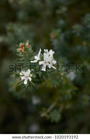 Coastal Rosemary Evergreen Shrub White Flower Stock Photo Edit Now