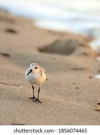 Coastal scene of sandpiper sanderling on the beach in South Florida