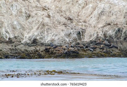 coastal scenery at the Bird Rock including lots of common seals around the Monterey Peninsula in California, USA