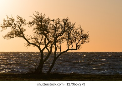 Coastal tree silhouette with a crow sitting in the top of the tree