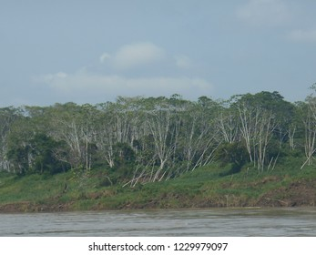 Coastal vegetation on the banks of the river in the Brazilian Amazon