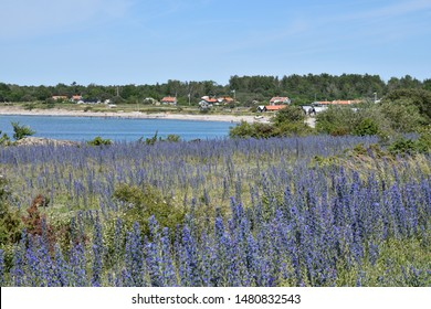 Coastal view with blossom blueweed flowers by a bay of the Baltic Sea on the island Oland in Sweden
