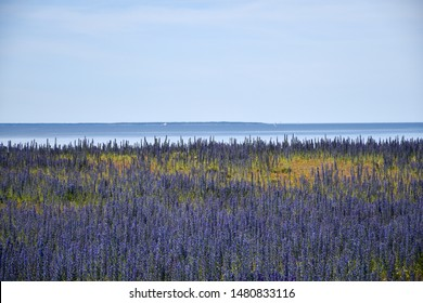 Coastal view with blossom blueweed flowers by the Baltic Sea