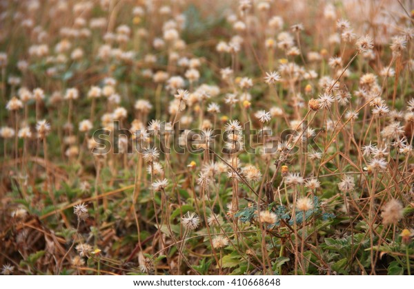 Coat buttons blooming at the sunset in field
