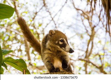 Coati alights on a branch