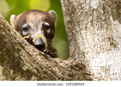 A coati checking if is in a save place in Panama