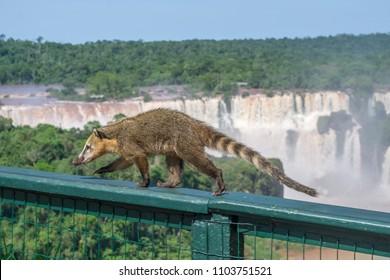 Coati in Iguazú Falls - Brazil