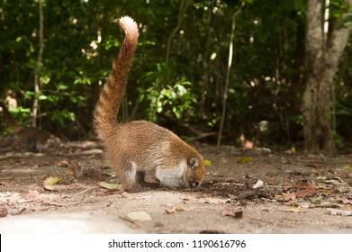 Coati in his natural habitat. Tulum, Mexico.  Coati looking for food. Coati eating. Wildlife of Mexico. Wilflife of Cancun.