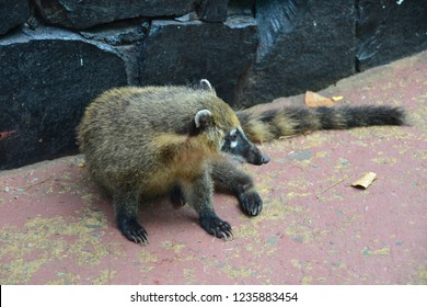 Coati in the Iguazu National Park of Argentina. Closeup photo, Coati looking for food, as always!