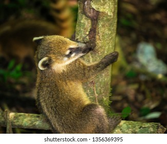 Coati in Iguazu National Park. Coati, also known as the coatimundi is a member of the raccoon family, they have a long snout, an elongated body, and a long bushy tail banded with dark rings.