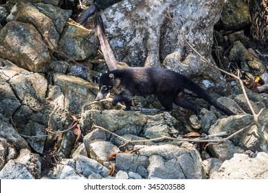 Coati in the jungle of Corcovado Parc, Costa Rica