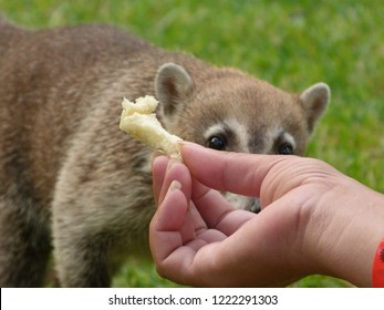 The coati, also known as the coatimundi is a member of the raccoon family feeding the local coati