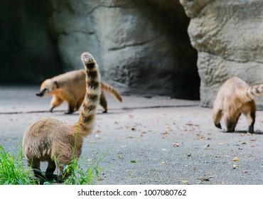 Coati looking for food
