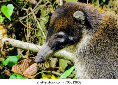 Coati mammals Costa Rica