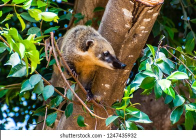 The coati is a medium-sized mammal only found on the American continent. The coati is found widely distributed across North, Central and South in a number of different habitats.