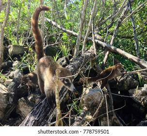 Coati Mexican Coatimundi Raccoon in the Mangroves