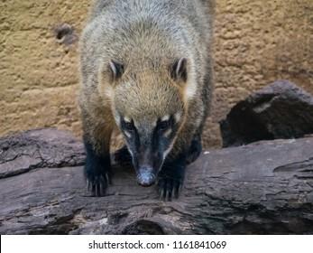 Coati mundi animal bear