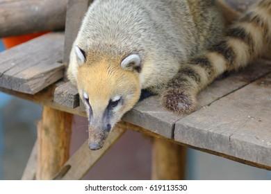 Coati mundi Nasua