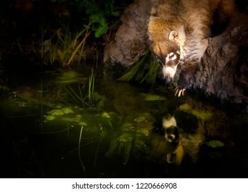 Coati Mundi reaching in water with reflection