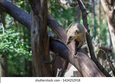 coati (nasua) climbs on a branch