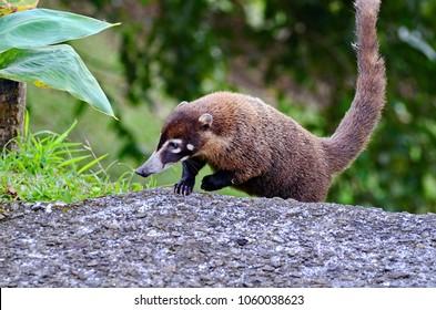 Coati (Nasua narica) in Costa Rica