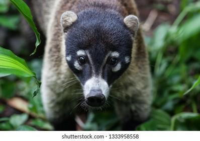 Coati in the Rainforest