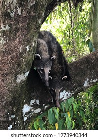 Coatis in Iguazú falls. Coatis are wild animal commonly found in South America.