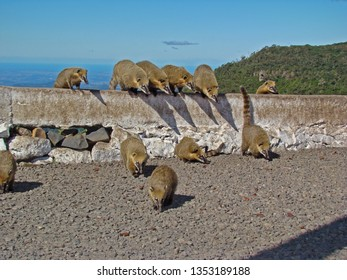 Coatis at the street