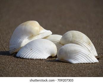 Cobch shells