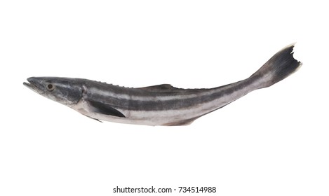 Cobia fish or black kingfish isolated on white background, Rachycentron canadum