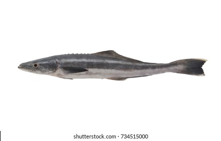 Cobia fish isolated on white.